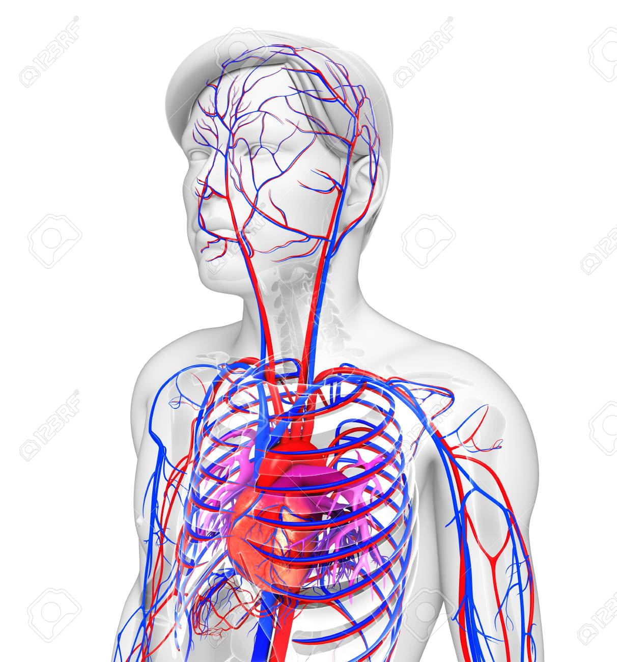 Illustration Of Male Heart Circulatory System Stock Photo Picture