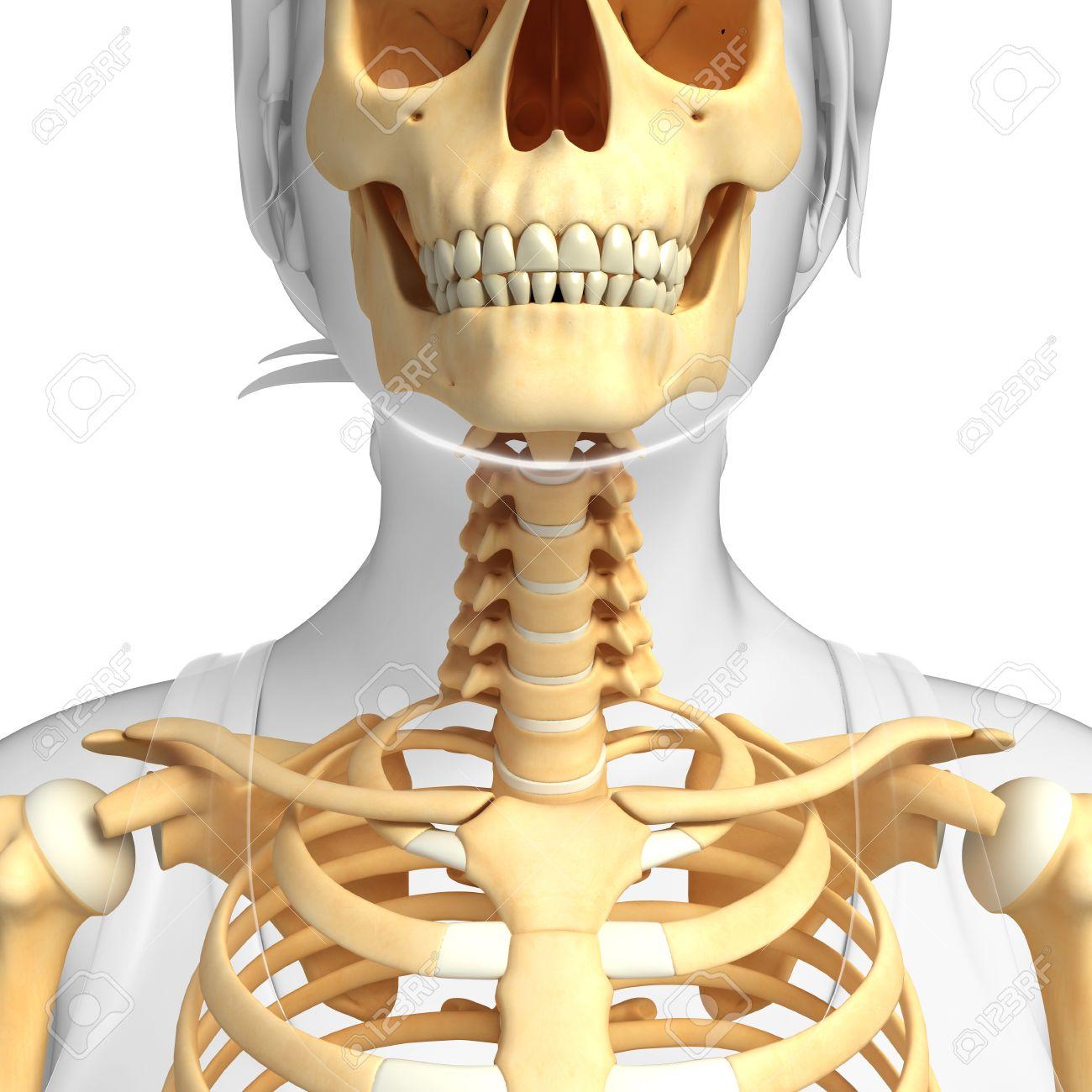 Ilustración Del Esqueleto Cuello Humano Fotos, Retratos, Imágenes Y ...