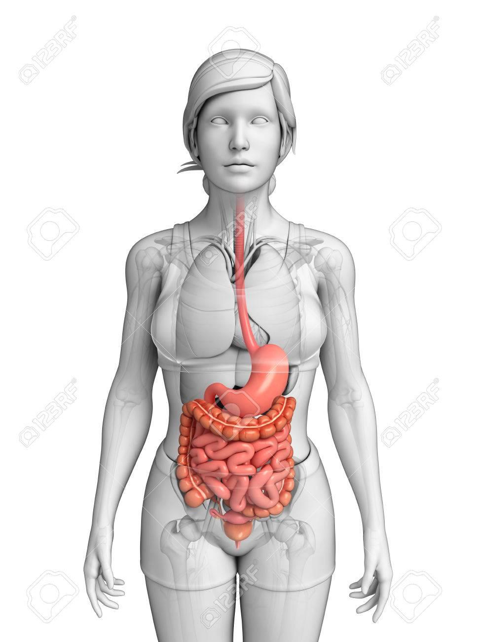 Illustration Of Female Small Intestine Anatomy Stock Photo, Picture ...