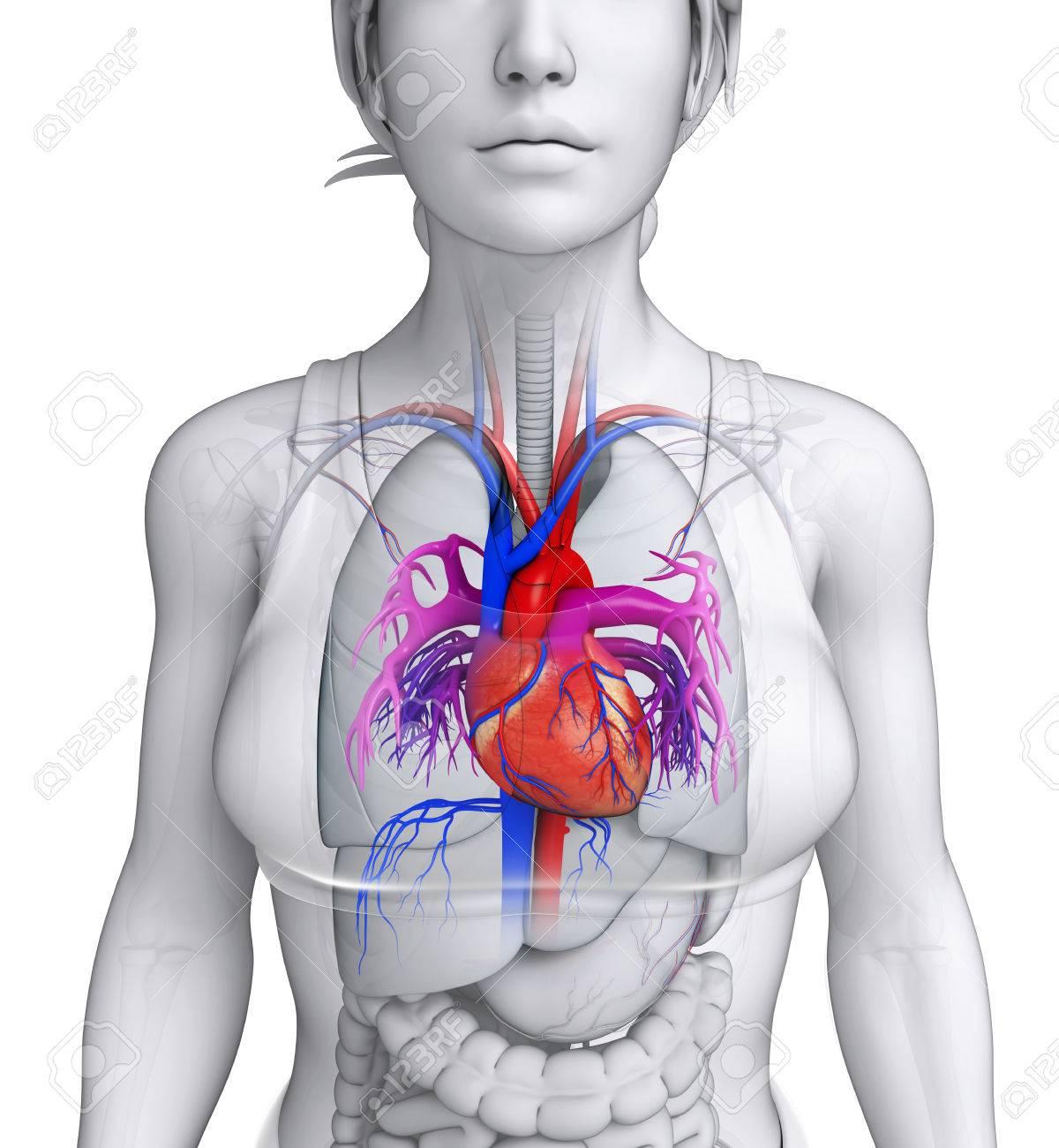 Excepcional Imágenes Anatomía Del Corazón Festooning - Imágenes de ...