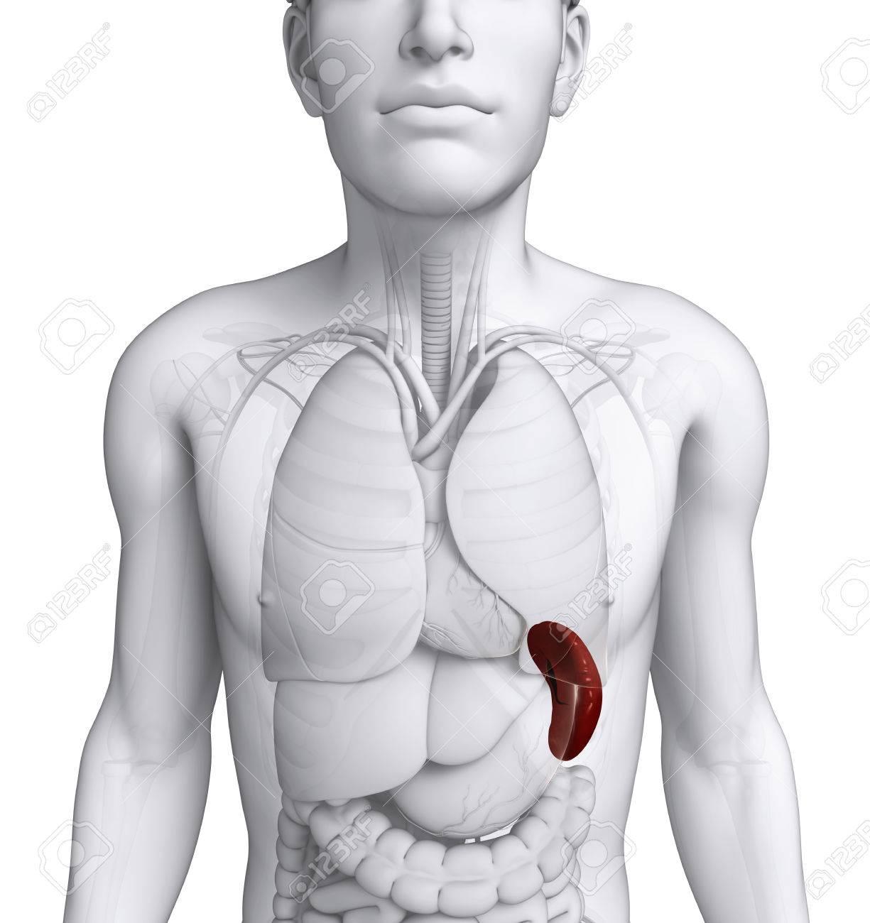Ilustración De La Anatomía Del Bazo Masculina Fotos, Retratos ...