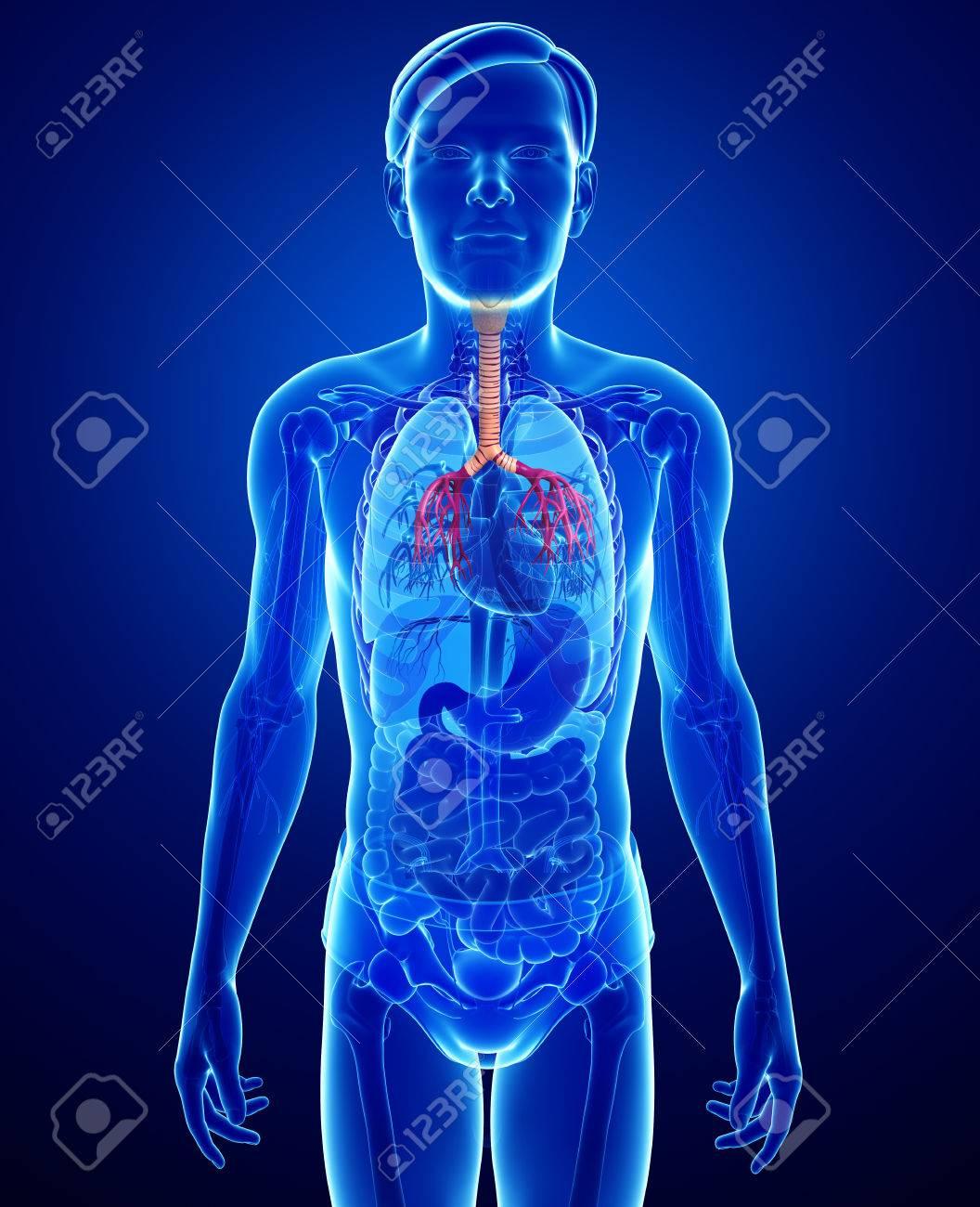 Ilustración De La Anatomía De La Garganta Masculina Fotos, Retratos ...