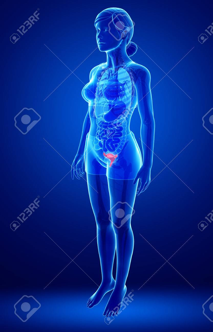 Illustration Of Female Uterus Anatomy Stock Photo Picture And