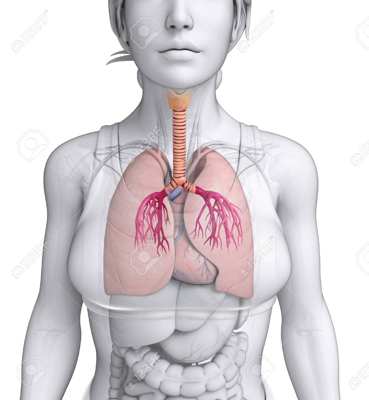 Illustration Of Female Throat Anatomy Stock Photo, Picture And ...
