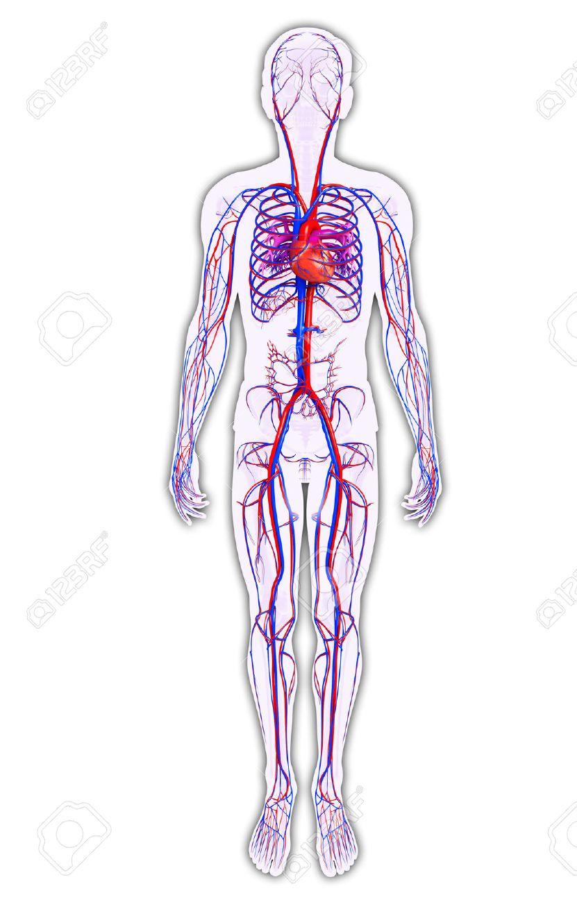 Ilustración Del Sistema Circulatorio Hombre Fotos, Retratos ...