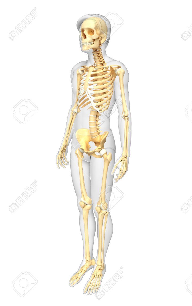 Ilustración Del Esqueleto Humano Vista Lateral Fotos, Retratos ...