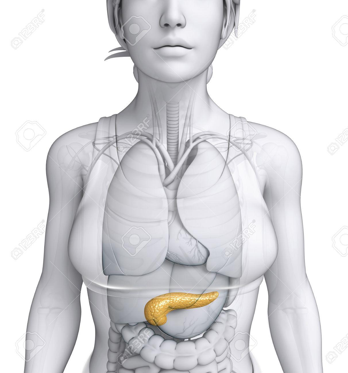 Illustration Der Weiblichen Anatomie Bauchspeicheldrüse Lizenzfreie ...
