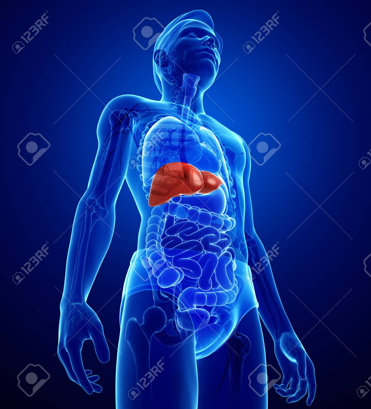 Illustration De Mle Anatomie Du Foie Banque Dimages Et Photos