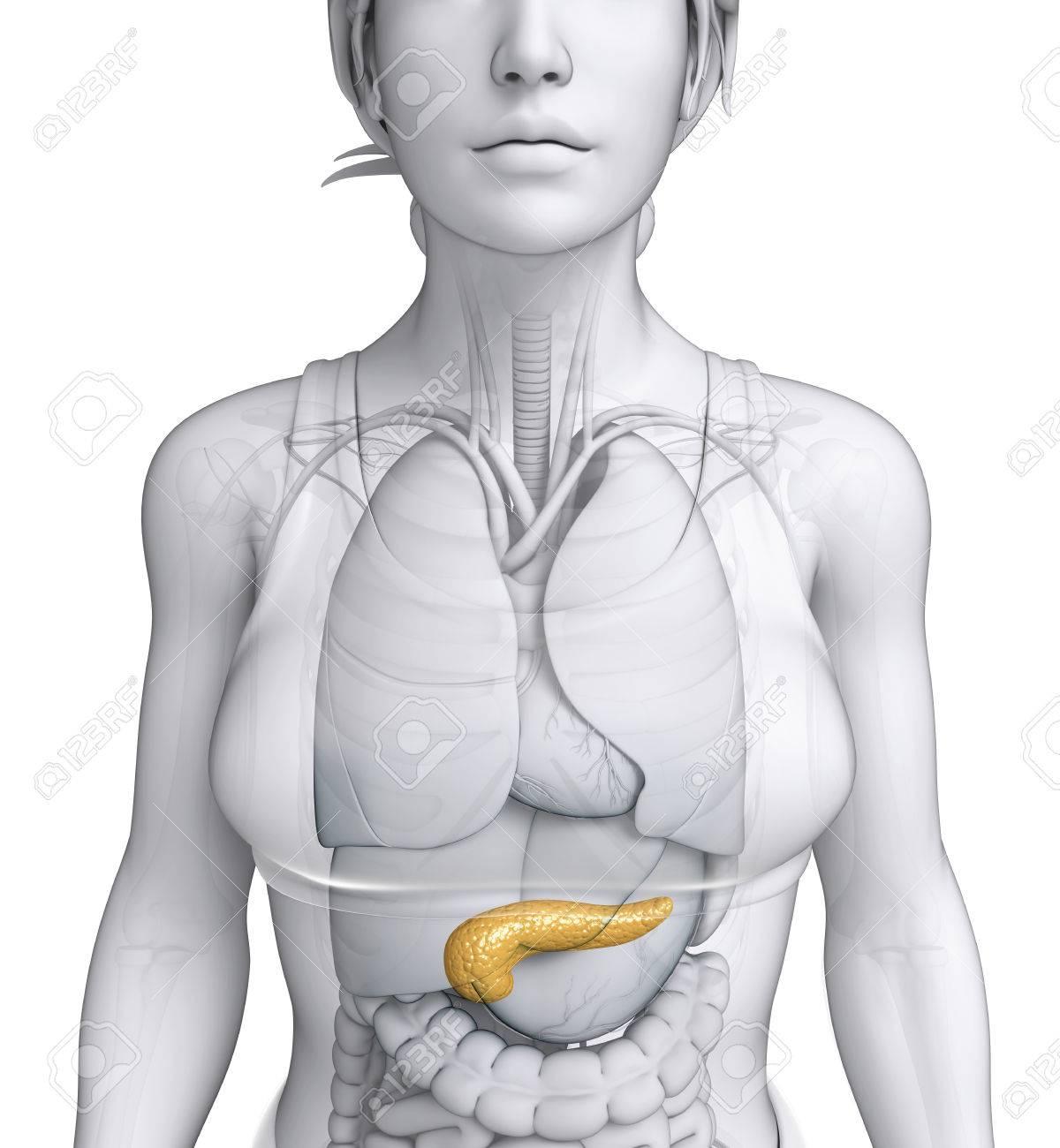 Nett Interne Weibliche Anatomie Zeitgenössisch - Anatomie Von ...