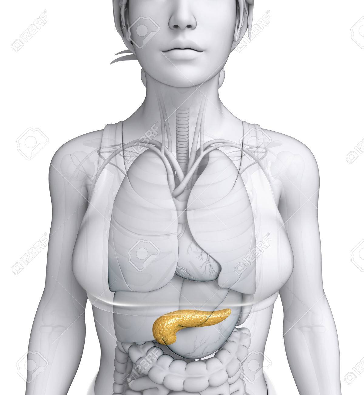 Illustration Of Female Pancreas Anatomy Stock Photo, Picture And ...