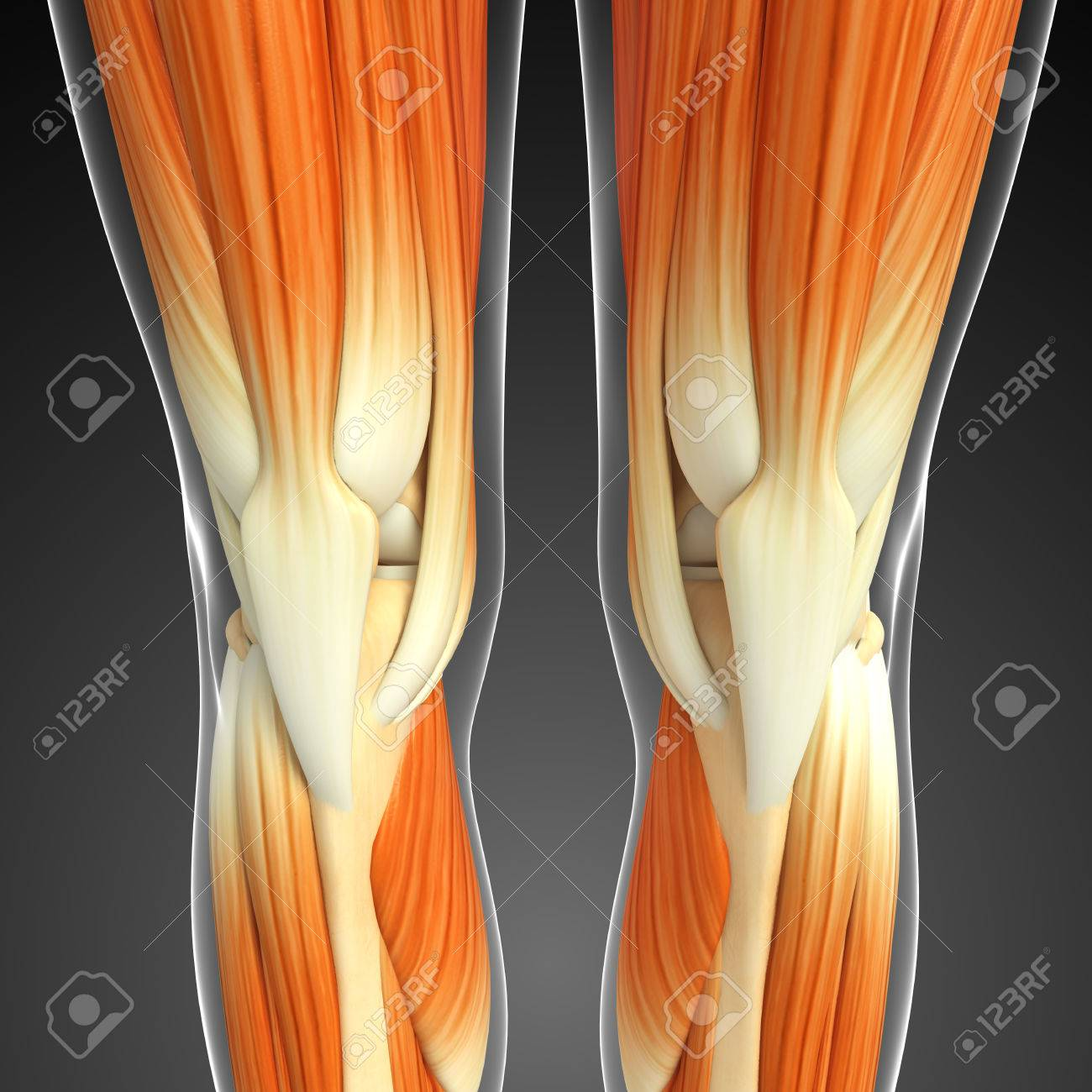 3d Rendered Illustration Of Knee Muscles Anatomy Stock Photo