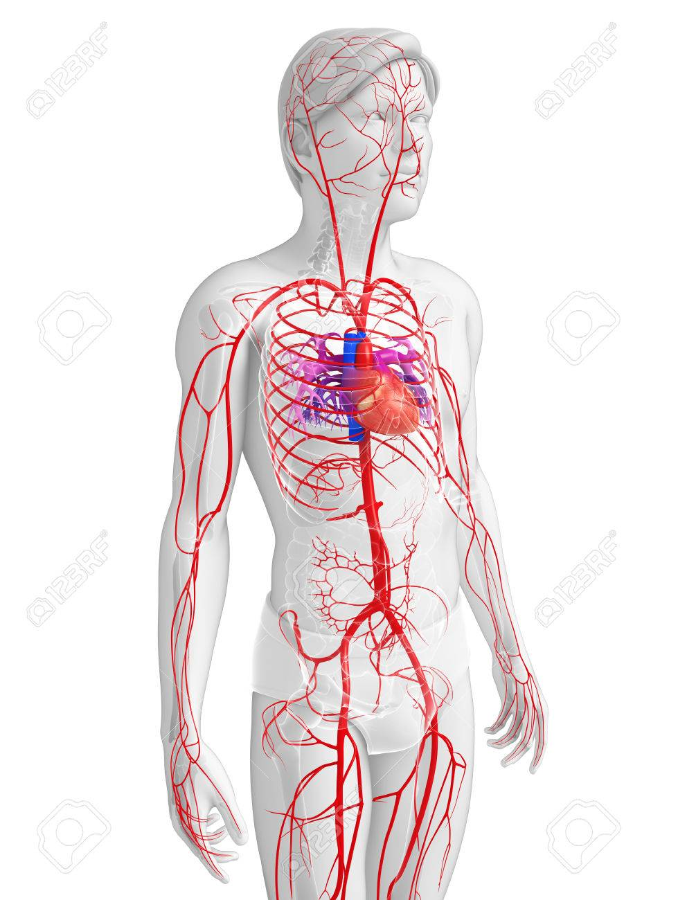 3D Gerenderten Bild Der Männlichen Arteriellen Systems Lizenzfreie ...