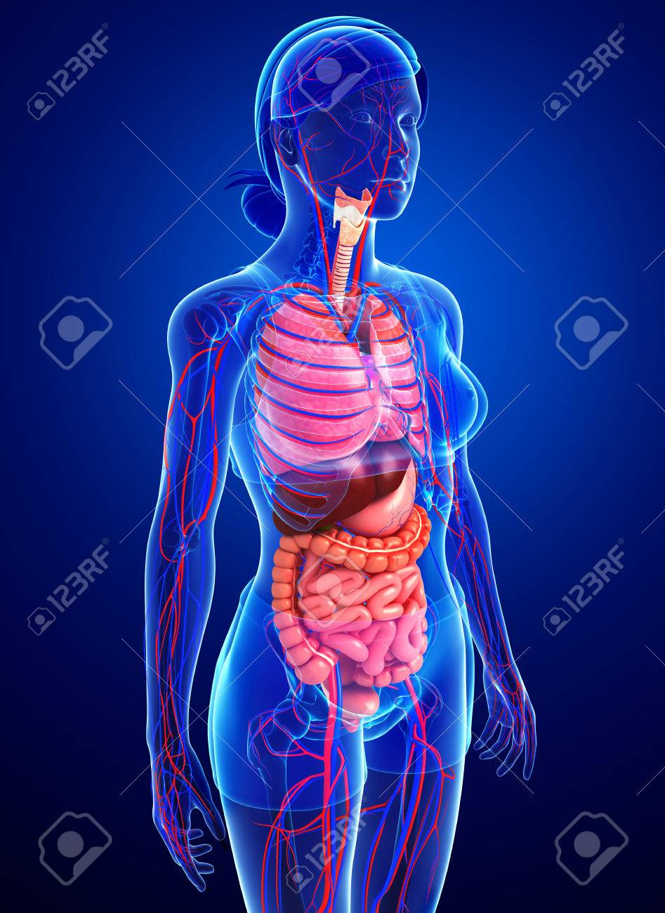 Ausgezeichnet Menschliche Anatomie Verdauungs Ideen - Menschliche ...