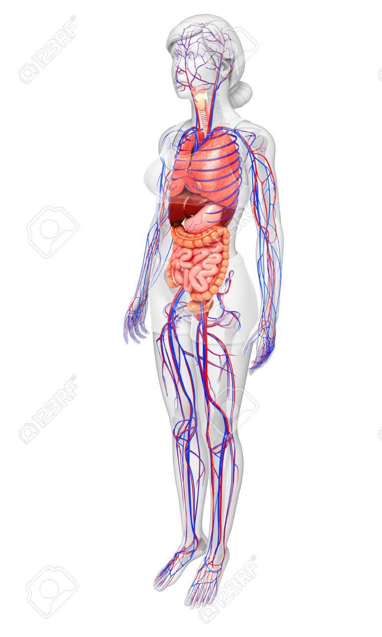 Fantastisch Weiblicher Körper Anatomie Fortpflanzungs Ideen ...