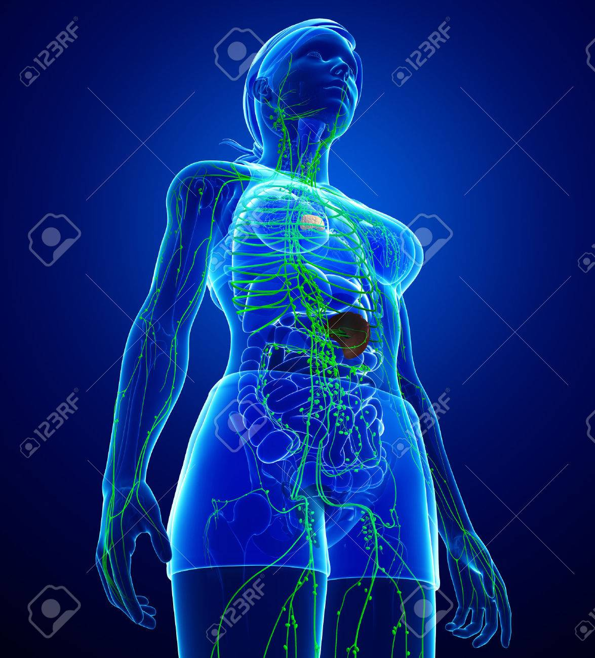 Illustration Of Female Body Lymphatic System Stock Photo Picture