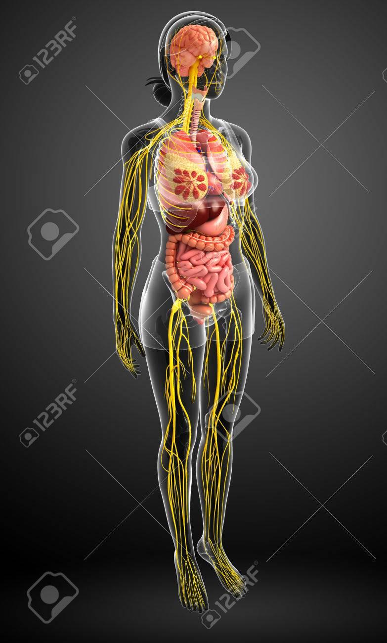 Illustration Des Weiblichen Körpers Mit Nerven- Und Verdauungssystem ...