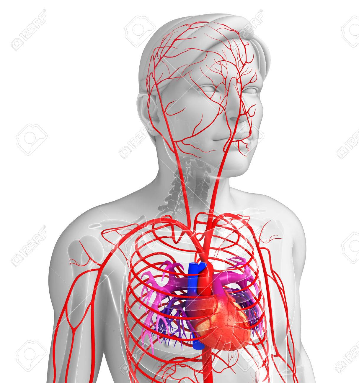 3d Rendered Illustration Of Male Arterial System Stock Photo
