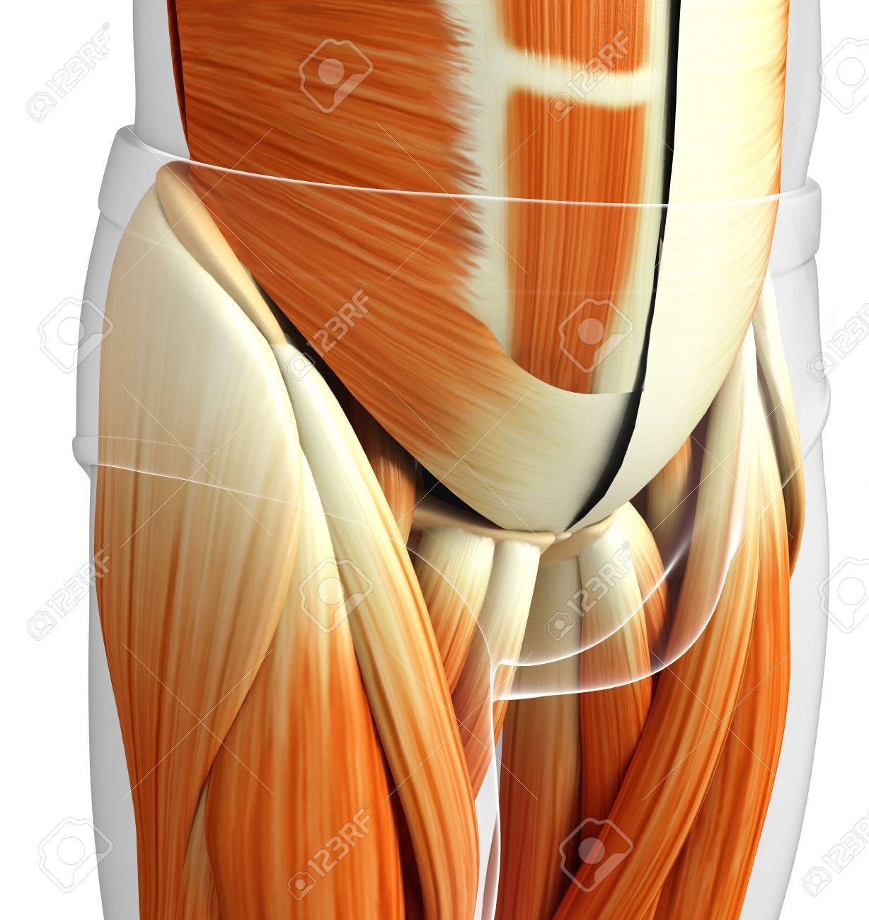 3d Rendered Illustration Of Male Pelvic Muscles Anatomy Stock Photo ...