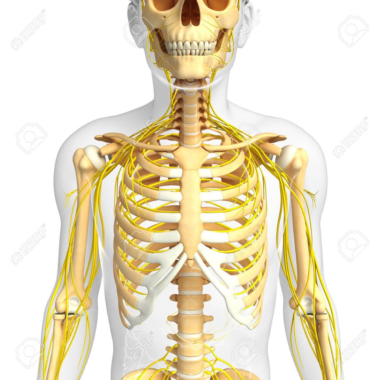 Illustration Der Männlichen Brustkorb Mit Nervensystem Kunstwerk ...