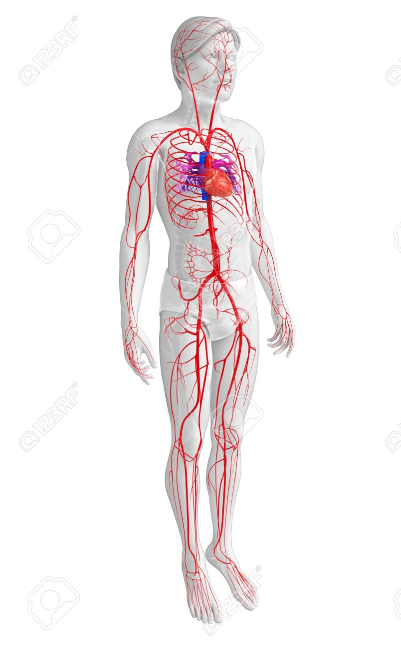 3d Rendered Illustration Of Male Arterial System Stock Photo ...