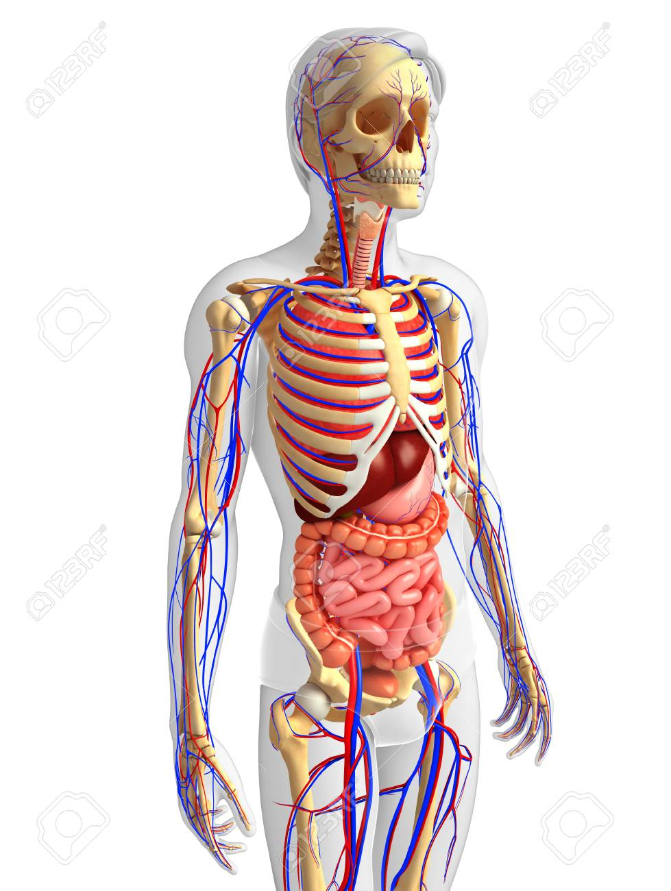 Illustration Of Male Skeletal Digestive And Circulatory System