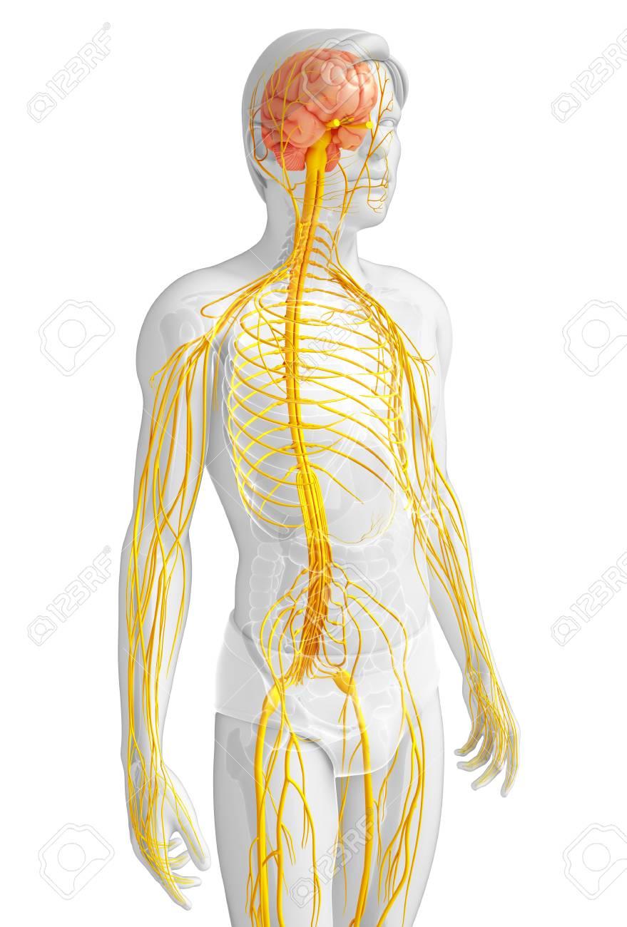 Berühmt Fortpflanzungssystem Anatomie Zeitgenössisch - Anatomie Von ...