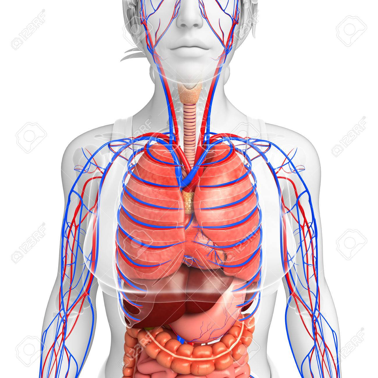 Digestive and circulatory system of female body artwork stock photo digestive and circulatory system of female body artwork stock photo 44273383 ccuart Image collections