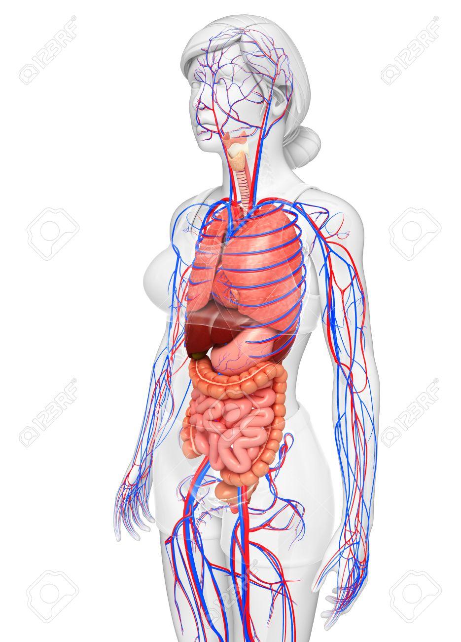 Groß Organe Des Weiblichen Körpers Fotos - Menschliche Anatomie ...