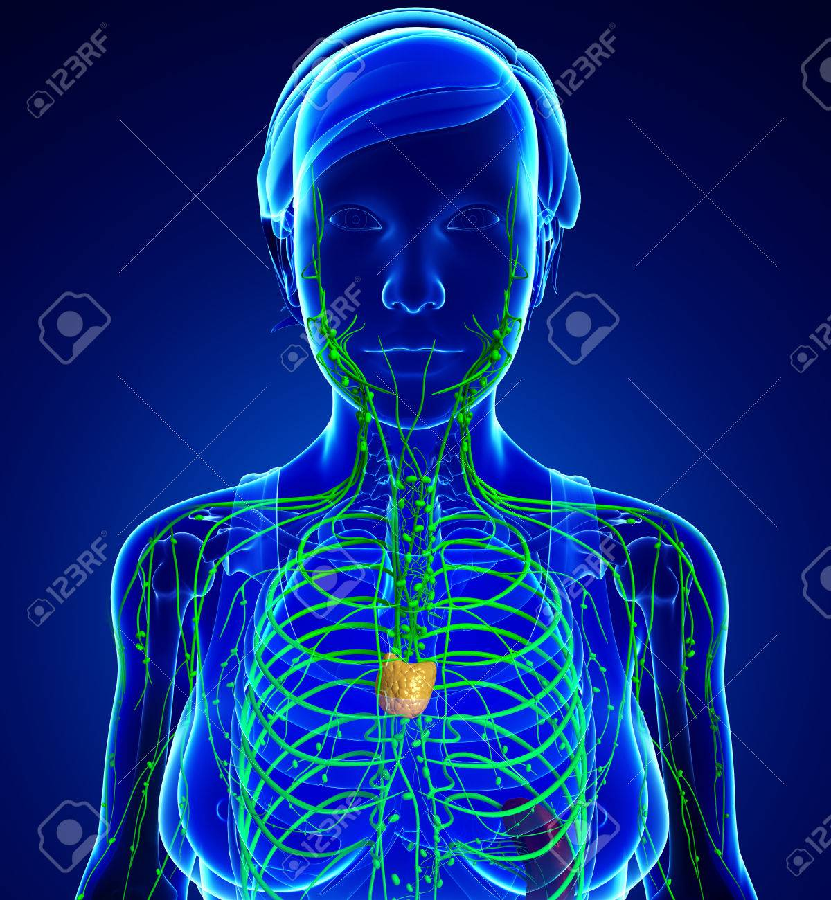 Ausgezeichnet Bild Des Weiblichen Körpers Zeitgenössisch ...