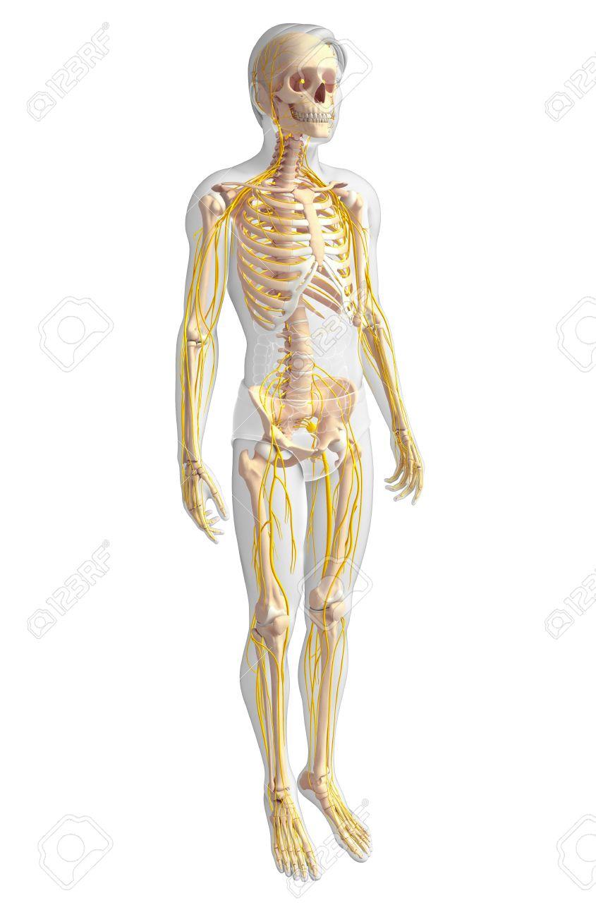 Ausgezeichnet Anatomie Eines Männlichen Fortpflanzungssystems Ideen ...