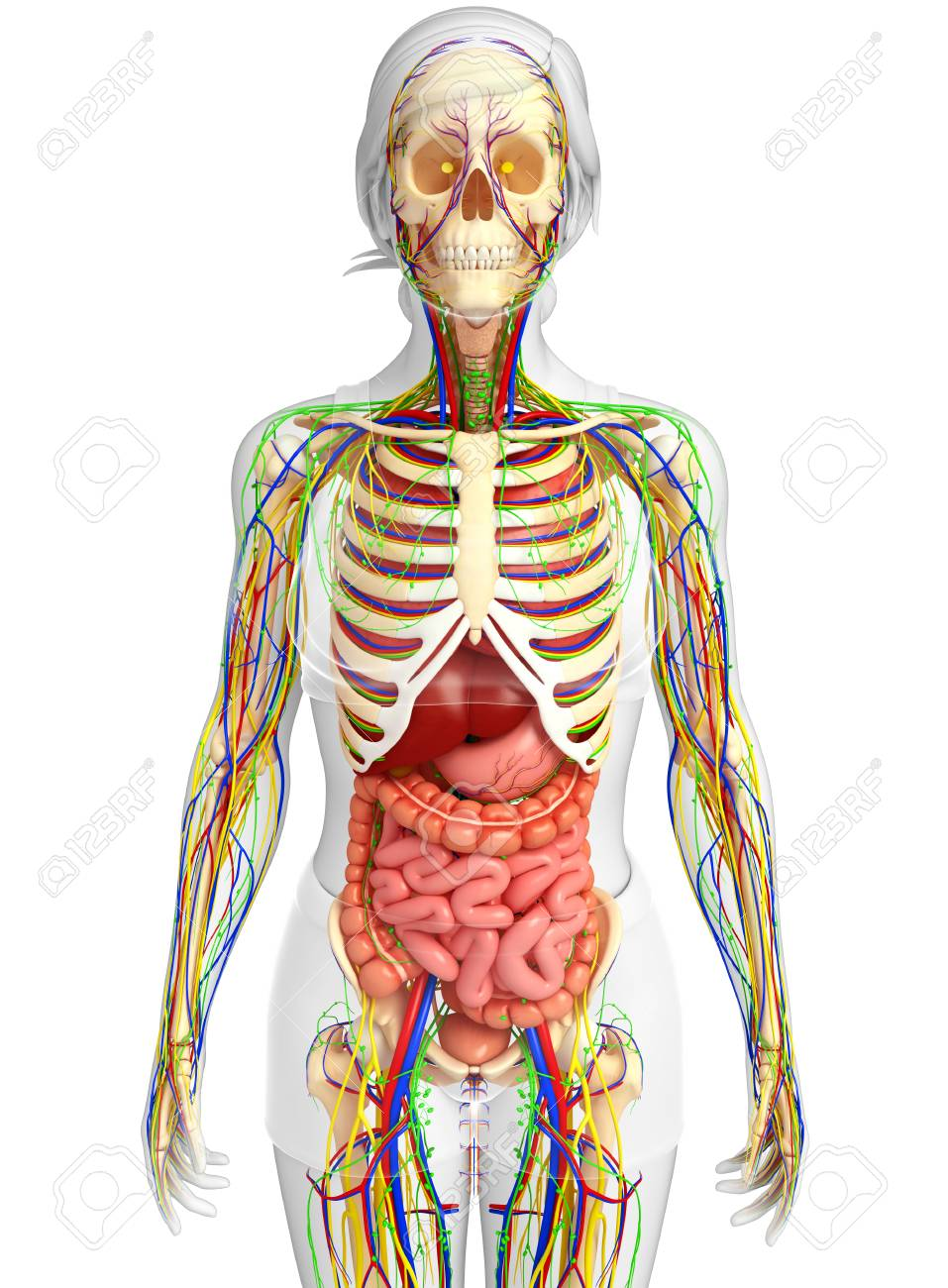 Illustration Of Lymphatic Skeletal Nervous And Circulatory Stock