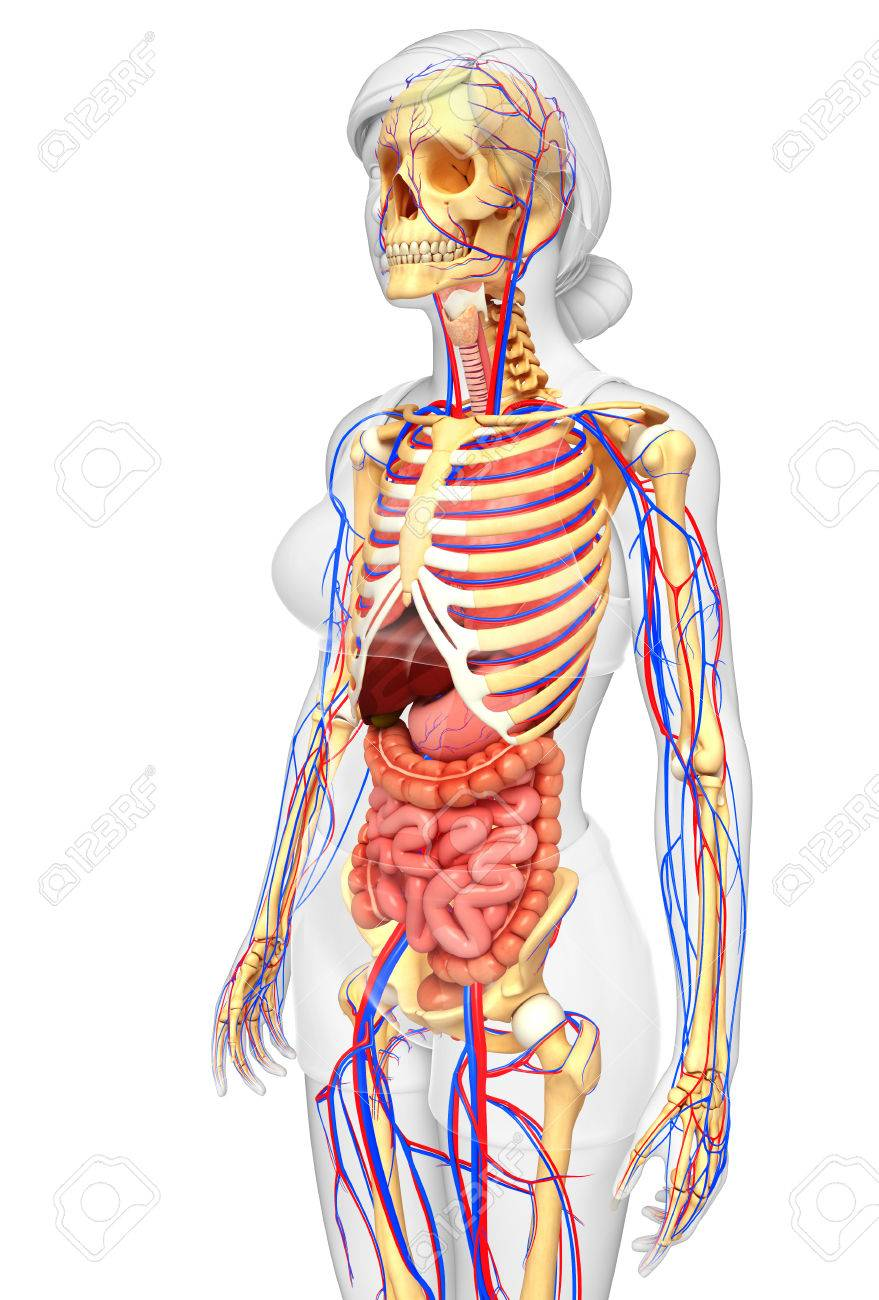 Illustration Of Female Skeletal Digestive And Circulatory System