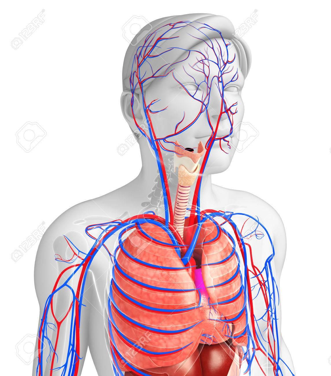 Fantastisch Herztrennwand Ideen - Anatomie Von Menschlichen ...