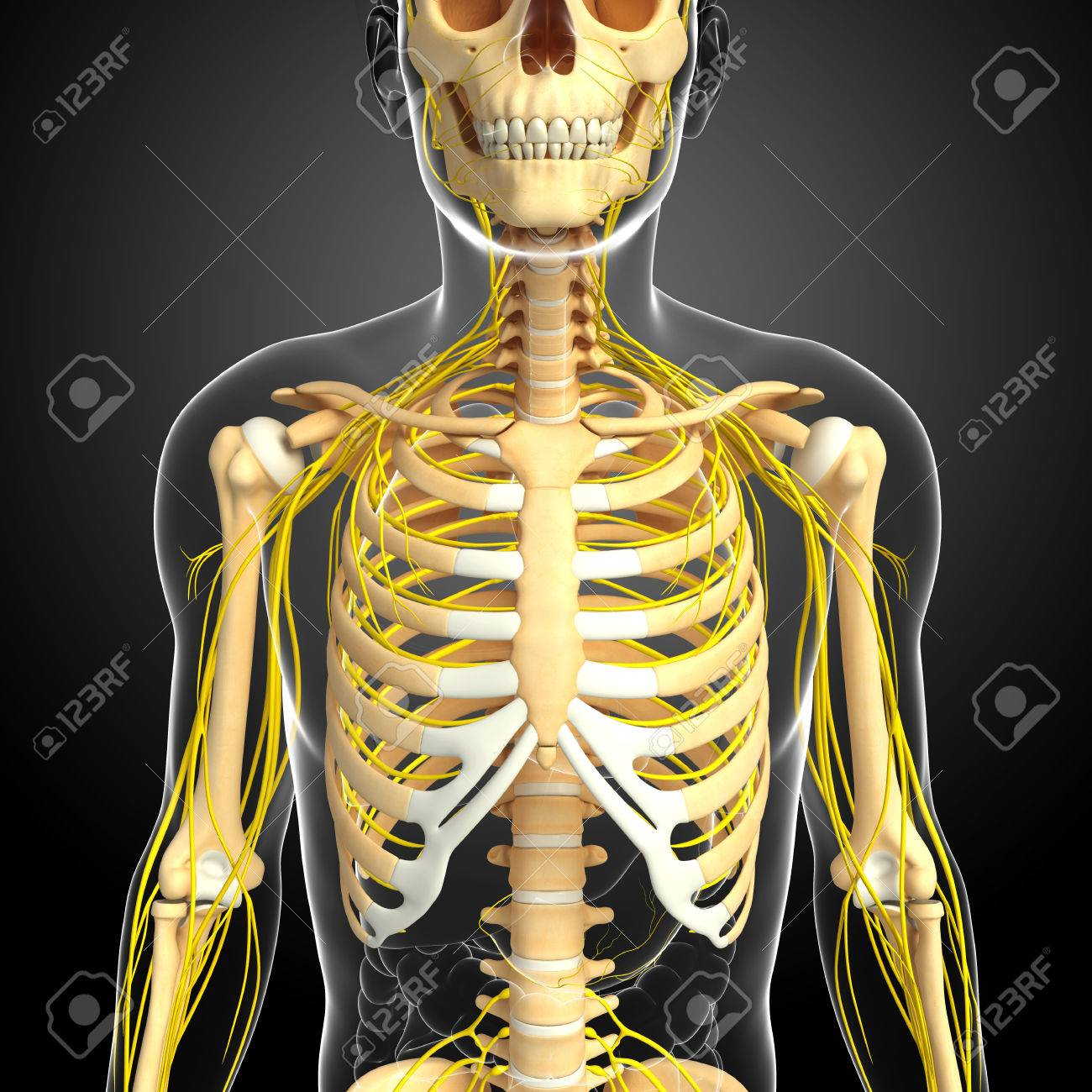 Illustration Of Male Ribcage With Nervous System Stock Photo