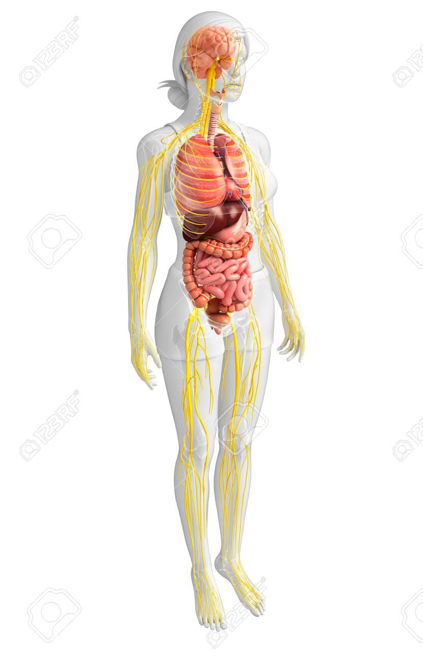 Erfreut Weibliche Organe Des Körpers Ideen - Anatomie Ideen ...