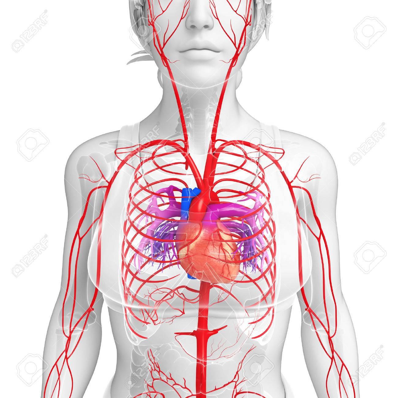 3d Rendered Illustration Of Female Arterial System Stock Photo ...