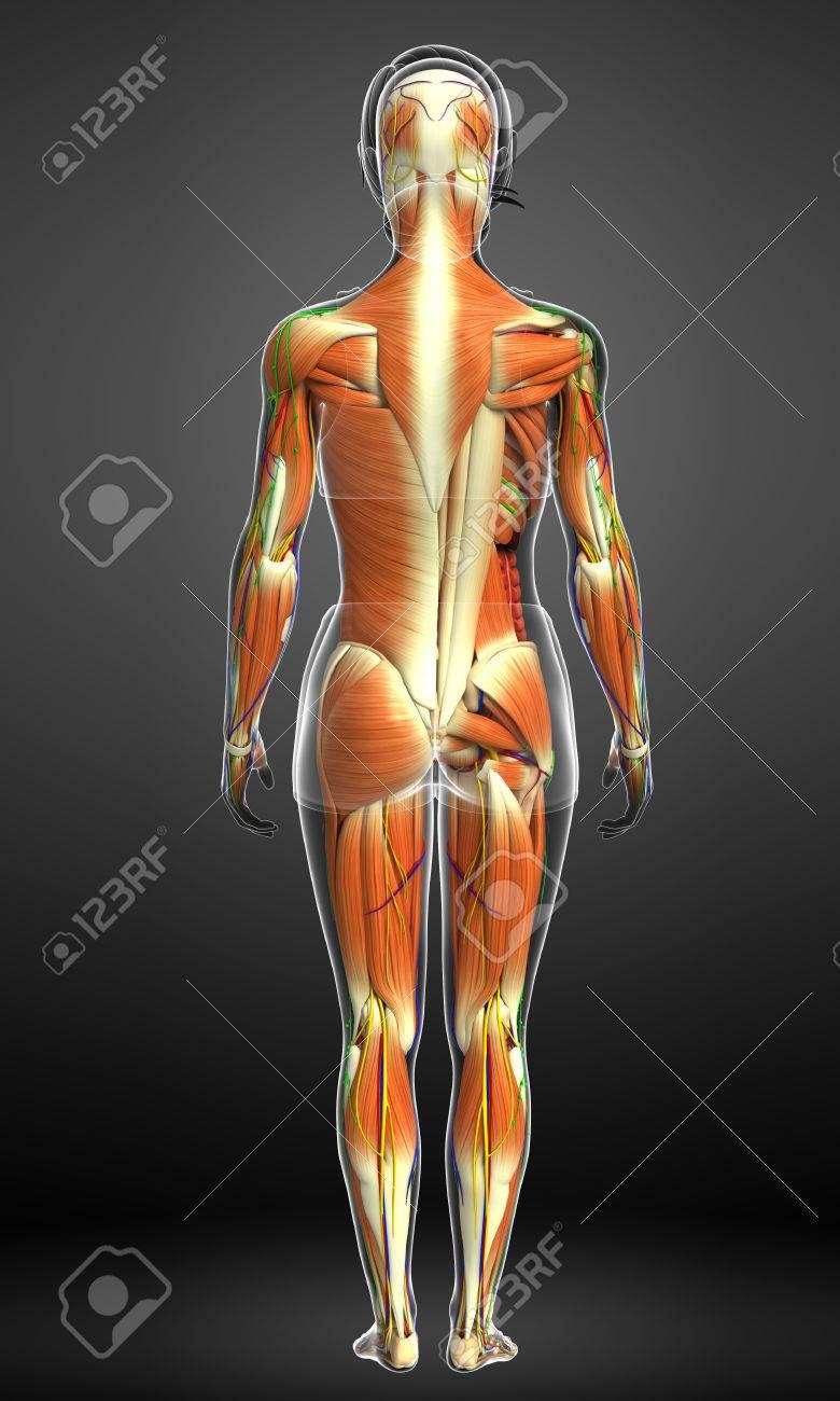 3d übertrug Abbildung Der Männlichen Anatomie Muskeln Lizenzfreie ...