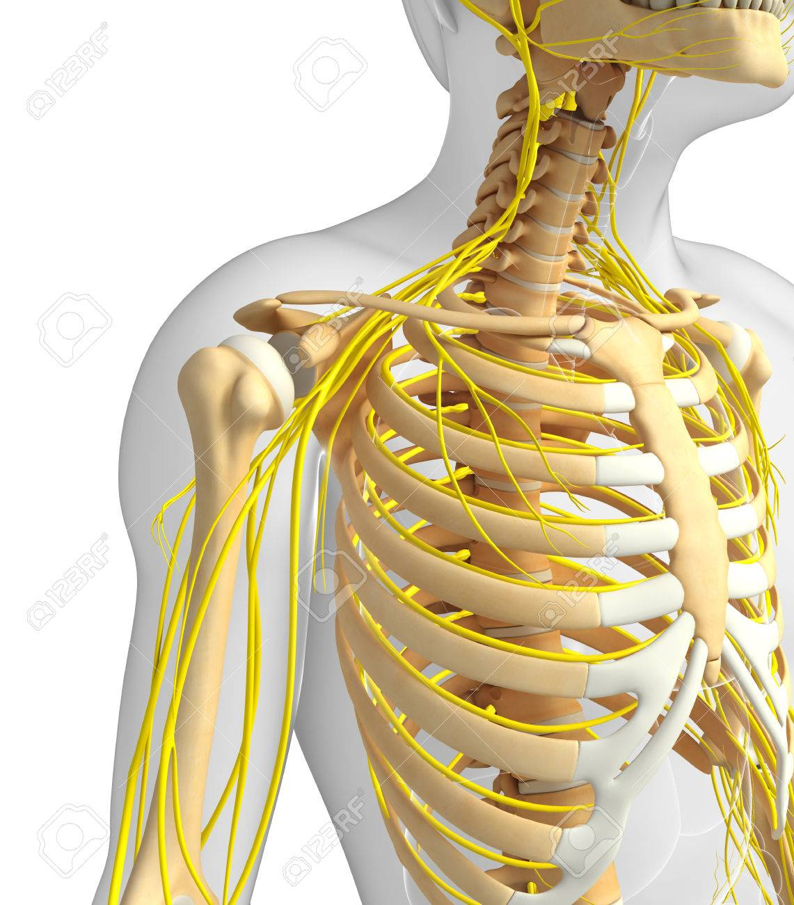 Illustration Of Male Ribcage With Nervous System Artwork Stock Photo