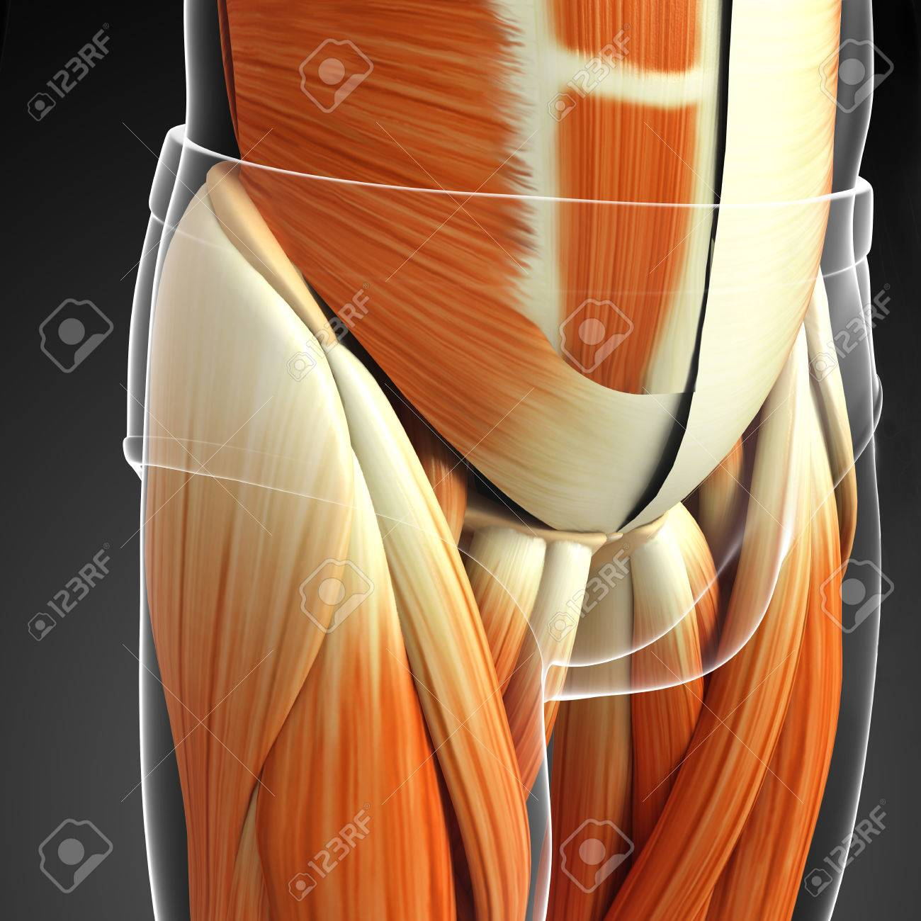 3d Rindió La Ilustración De Los Músculos De La Pelvis Anatomía Fotos ...