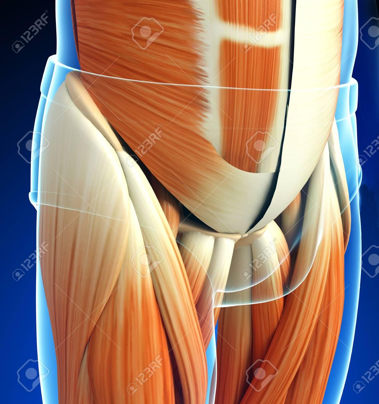 3d Rindió La Ilustración De La Anatomía Cintura Pélvica Fotos ...