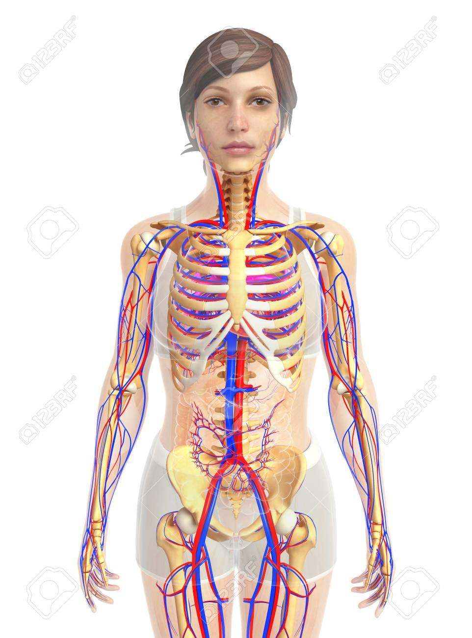 3d übertrug Abbildung Der Weiblichen Herz Anatomie Lizenzfreie Fotos ...