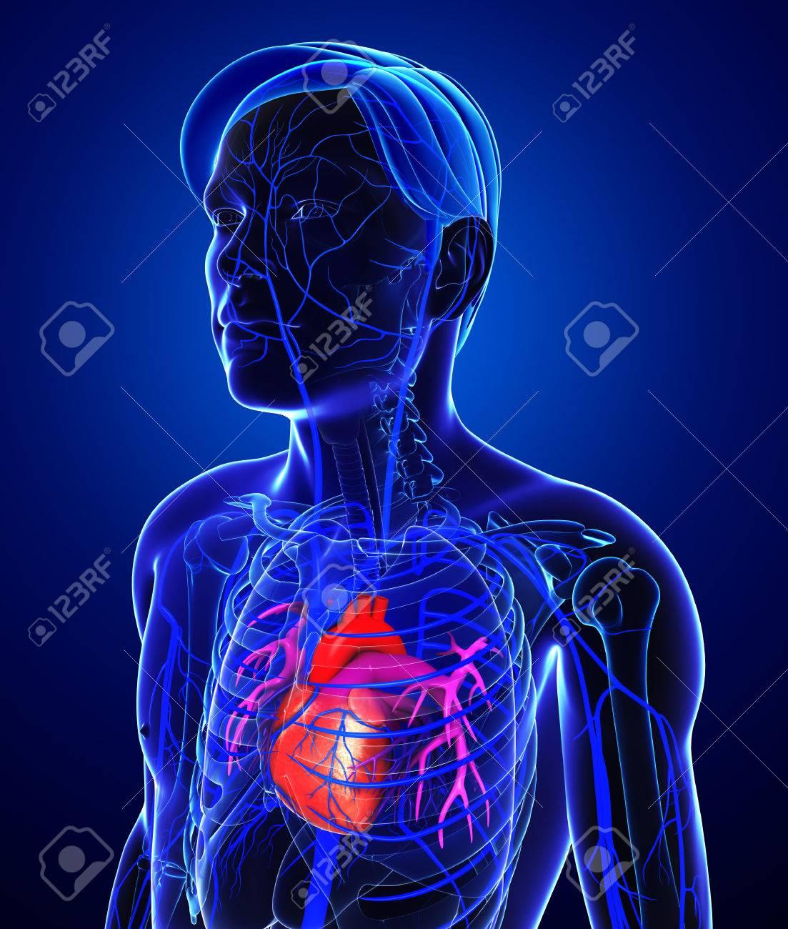 3d Rindió La Ilustración De La Anatomía Del Corazón Masculino Fotos ...