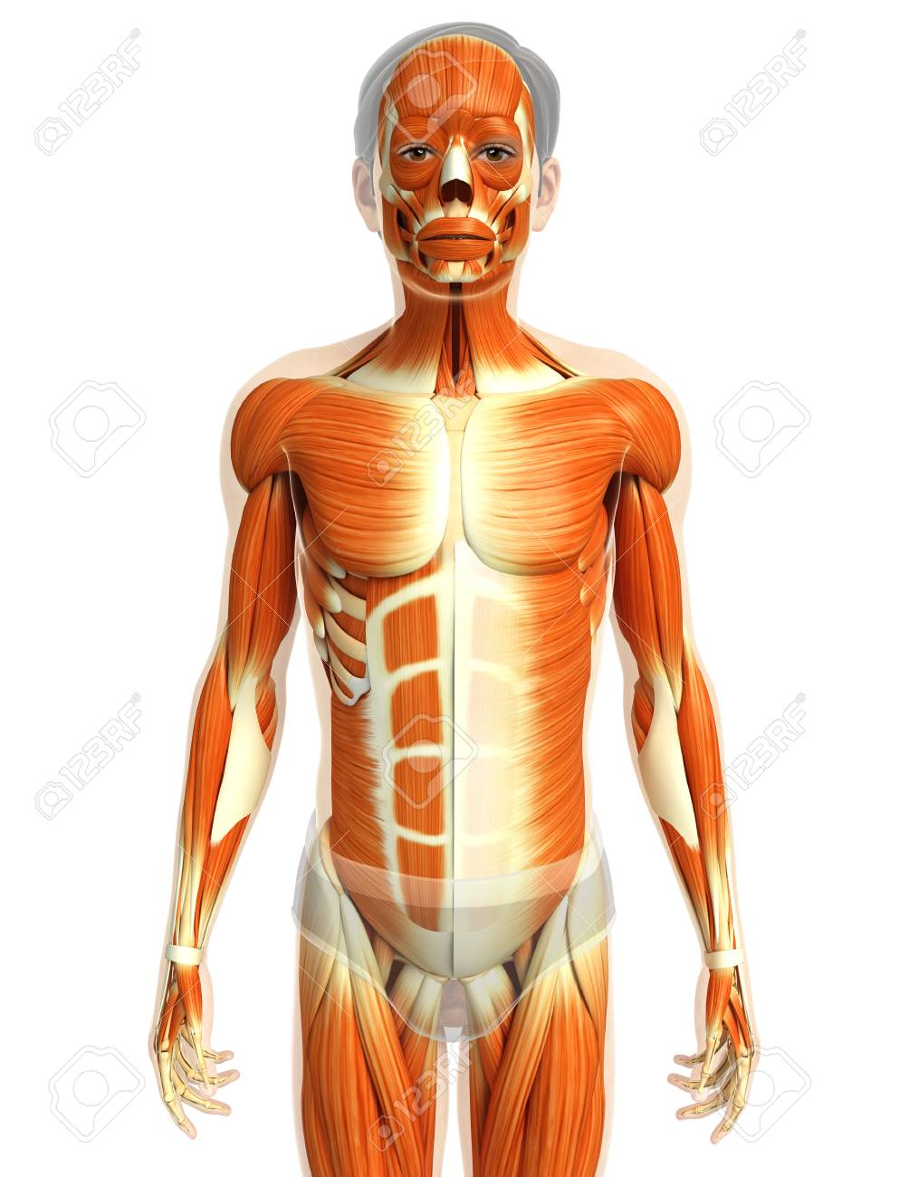3d Rendered Illustration Of Male Muscles Anatomy Stock Photo