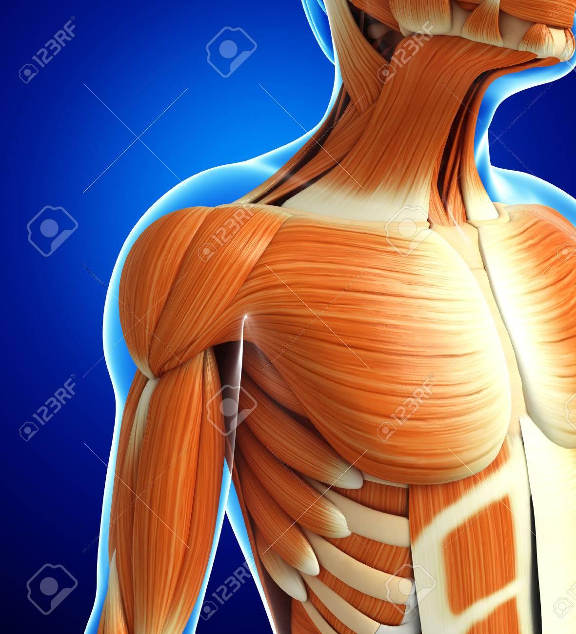 Gemütlich Oberkörper Anatomie Muskeln Bilder - Menschliche Anatomie ...