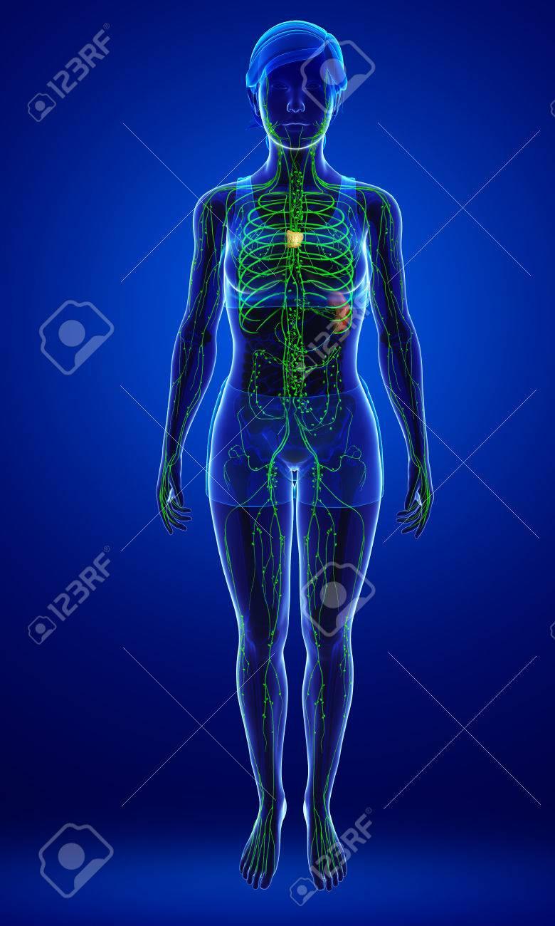 Illustration Des Weiblichen Körpers Lymphatische System Lizenzfreie ...