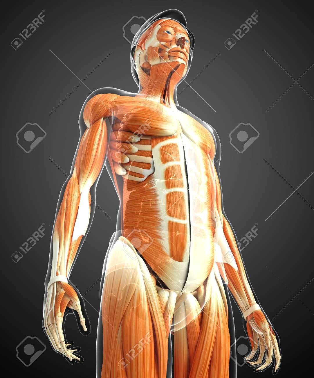 3d Rindió La Ilustración De La Anatomía Masculina De Los Músculos ...