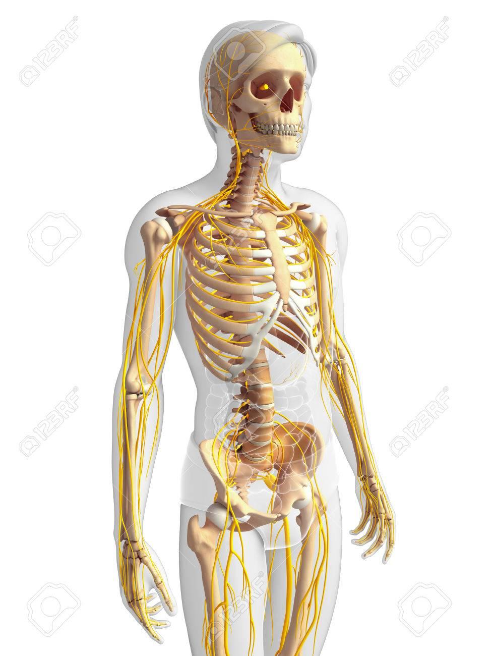 Fantastisch Anatomie Und Physiologie Des Männlichen ...