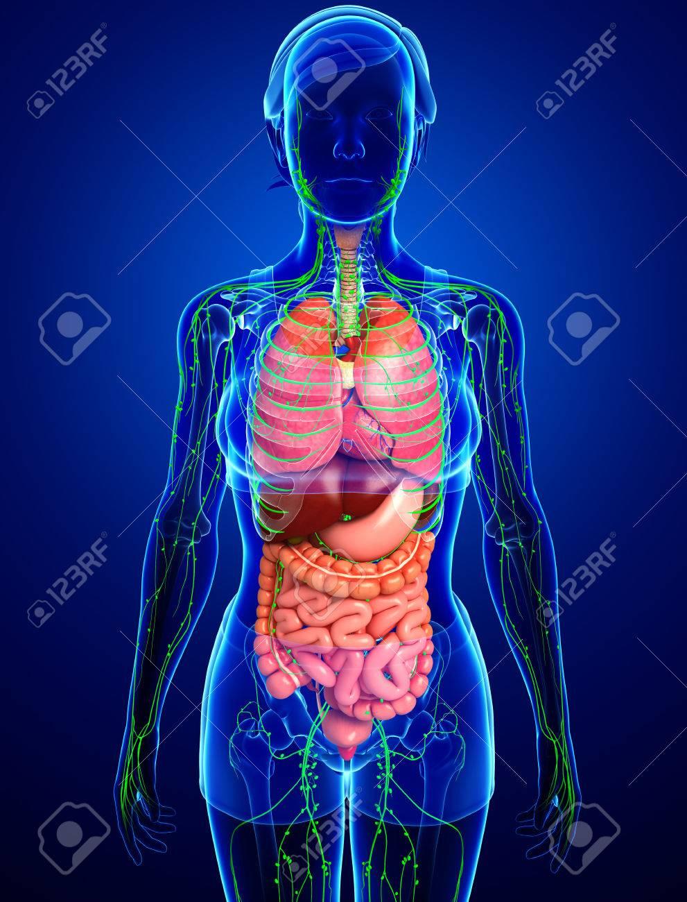 Großzügig Weibliche Organe Des Körpers Galerie - Menschliche ...