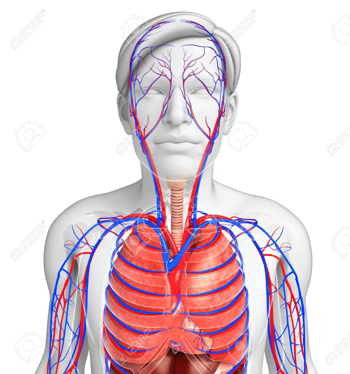 Illustration Der Männlichen Atem- Und Kreislaufsystem Lizenzfreie ...