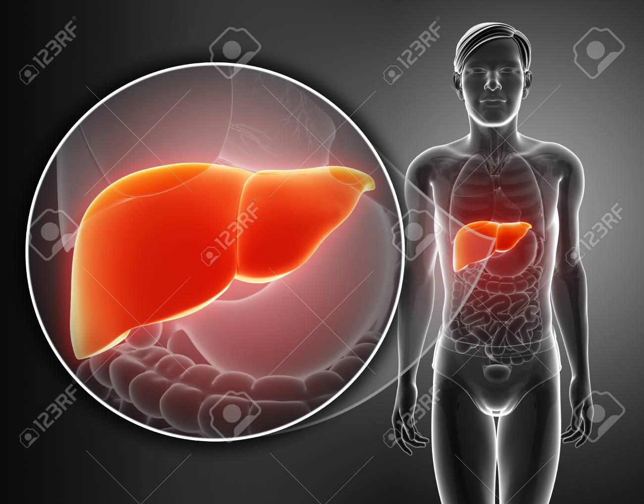 Procesamiento 3D De La Anatomía Del Hígado Masculino Fotos, Retratos ...